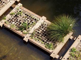 都市河川の抽水植物05