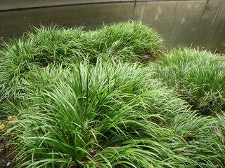 都市河川の抽水植物06