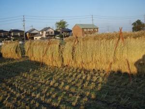 秋風に吹かれながら、夕日に照らされる稲わら
