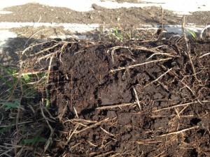 マットに絡むチガヤの根茎には悪戦苦闘…。